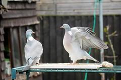 21 April 2017 (18) (AJ Yakstrangler) Tags: yakstrangler pigeon pigeons