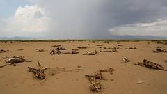 Drought in Hamer Woreda, South Omo Zone, Ethiopia (Michal Przedlacki) Tags: southomo hamerworeda tribes ethiopia drought pastoralists livestock hornofafrica snnpr
