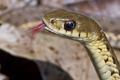 "Snake ""Sniffing"" (brucetopher) Tags: macromondays intentionalblur snake tongue lash red taste tastetheair smell sniff smelling eye gartersnake scales reptile wild animal wilderness creature habitat strike coil motionblur motion blur"