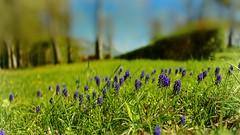 Just nature (Ⓨ a s m i n e Ⓗ e n s +4 900 000 thx❀) Tags: flowers nature natural blur flou soft green blue hensyasmine belgium annevoie 7dwf