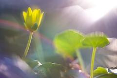 The dream-catcher. (look to see) Tags: speenkruid geel mood flare bokeh lente spring color kleur moeras swamp mariahof beek bree belgium 2017 creative creatief explored