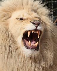 African lion Credo Ouwehands BB2A2085 (j.a.kok) Tags: credo leeuw lion witteleeuw whitelion afrikaanseleeuw africanlion afrika africa pantheraleoleo timbavati predator mammal zoogdier roofdier animal kat cat ouwehands ouwehandsdierenpark