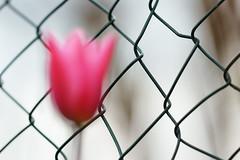 Blured. Pink tulip. HFF! (Gudzwi) Tags: hff fencefriday fence zaun blur bokeh unschärfe pink bewegung movement tulpe tulip maschendrahtzaun wiremeshfence wired wire happyfencefriday