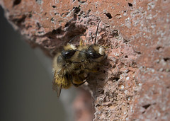 Masonry-bees_5501 (Peter Warne-Epping Forest) Tags: masonrybees osmiarufa redmasonbee insect mating arthropoda uk essex