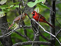 Cardinalidae : Cardinalis cardinalis - male and female Northern Cardinal (William Tanneberger) Tags: cardinalidae cardinalis cardinaliscardinalis northerncardinal cardinal wdtapril
