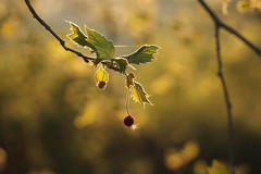 ***** (SimonaPolp) Tags: leaves foglie spring primavera springtime nature natura april aprile tree plant albero bokeh sunset tramonto light luce sunlight gold oro
