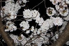 IMG_6398 Maruyama Koen (drayy) Tags: kyoto japan gion temple kiyomizudera maruyamakoen park sakura cherryblossoms 日本 京都 清水寺 円山公園 花見 桜