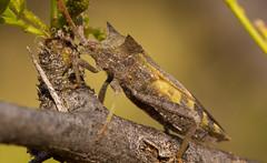 Leaf-footed Bug (Mozena lunata) (elderkpope) Tags: bug bugs insect insects ngc macrodreams cann macro close nature desert utah backyard