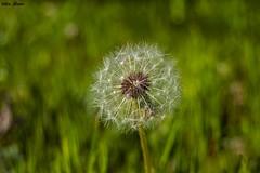 Bokehlicious (Jotha Garcia) Tags: bokeh bokehlicious primavera spring abril april 2017 jothagacia nikkor180550mmf35562 nikond3200 plant planta flor flower profundidaddecampo textura texture macrografia macro 7dwf