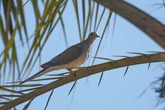 Mourning Dove  -  Carolinataube (CJH Natural Photography) Tags: carolinataube dove pigeon mourning mourningdove palm tree palmtree perch sit la california losangeles usa us na bird vogel