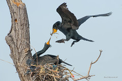 Nest building.. (Earl Reinink) Tags: bird animal waterfowl nest spring cormorant doublecrestedcormorant earl reinink earlreinink nature naturephotography niagara ontario canada stick flight azdadahdia