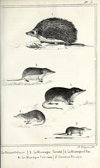 n78_w1150 (BioDivLibrary) Tags: birds collectionandpreservation france taxidermy vertebrates vertebratesfossil fieldmuseumofnaturalhistorylibrary bhl:page=52795643 dc:identifier=httpbiodiversitylibraryorgpage52795643 herisson ordinaire hedgehog musaraigne