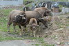 Young Buffaloes 1 (Bob Hawley) Tags: nikond7100 nikon2870mmf3545afd asia pingtung taiwan outdoors xuhai animals bubalusbubalis domestic farming agriculture cemeteries graveyards juvenile
