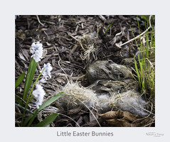 Little Easter Bunnies (baldwinm16) Tags: spring rabbit babies cottontail awe nature bunny landscapeeaters natureofthingsphotography