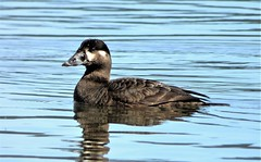 Female Surf Scoter (linda long) Tags: birds avian surfscoter scoter seaduck divingduck waterfowl wildlife nature pacificnorthwest alseabay