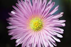 Cualquier lugar del mundo puede convertirse en un círculo mágico (mujik estepario) Tags: pentaxk5iis smcpentaxm50mmf17 pentaxlife pentax pentaxart flor flores flora