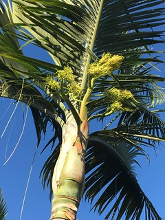 Dypsis sp. Mayotte