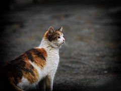 Street cat 183 (Yalitas) Tags: cat cats кот кошка котка kedi chat feline kat katze katzen kot kotka pet felino kottur katte kass kitty gato kocka gatta katzchen streetcat canon calico