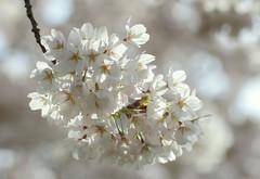 White cloud (mennomenno.) Tags: blossom bloesem lente spring wit white