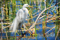 The Great Egret (Robert F. Carter Travels) Tags: egret egrets greategret greategrets white cbbr circlebbarreserve wetland marsh wetlands marshes bird birds water feathers casmerodiusalbus