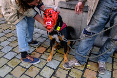 Brussels (Stefano Lista) Tags: streetphotography street streetcolors streetphoto brussels devil dog dogs