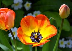 Tulip (Crowcombe Al) Tags: tulip pistil stamen stigma style ovary anther filament