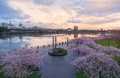 Cherry Blossoms (terenceleezy) Tags: portland pdx waterfront steelbridge oregon