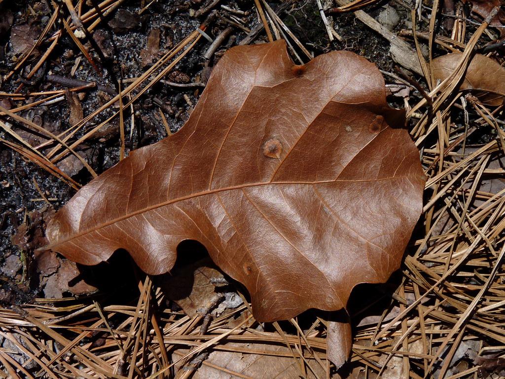 New jersey ocean county beachwood - Bur Oak Dendroica Cerulea Tags Buroak Quercusmacrocarpa Quercus Fagaceae Fagales Tree Oak Leaf