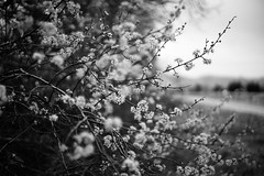 224/365: flowers are poems (fotovivo / peevish me) Tags: aphotoaday monochrome blackandwhite spring springflowers nature naturallight depthoffield colorado bouldercounty branches fotovivo leica50mmf2summicron sonya7s