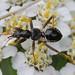 Himacerus mirmicoides (Heteroptera), nympha - Ameisensichelwanze
