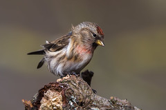 Lesser Redpoll (Simon Stobart) Tags: lesser redpoll carduelis cabaret male northeastengland branch wind ngc naturethroughthelens npc