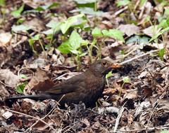 Blackbird, Corner Lane, Combe Martin, Devon 13 April 2017 (Cold War Warrior) Tags: blackbird turdusmerula combemartin devon
