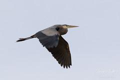 Great Blue Heron flyby