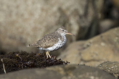 Spotted Sandpiper, Actitis macularius (Bill Bouton) Tags: wildbird shorebird waterbird aves charadriiformes scolopacidae