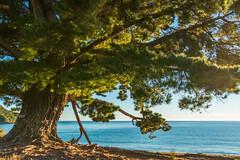 The Pine Tree at the Sea (Pixelfluch) Tags: kiefer meer nature morgen brown morning natur sea bäume goldenbay blue newzealand ocean tree abeltasmannationalpark pine länder neuseeland colors green pinetree pflanzen tageszeiten pinus