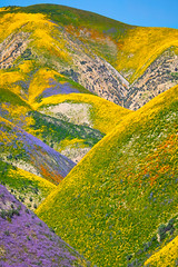 the hills are alive (Andy Kennelly) Tags: super bloom california colorful purple green yellow orange flowers hills wildflowers