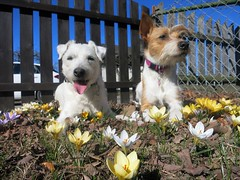 Smulan and Fia (carina.ericsson) Tags: dog jackrussel kromfohrländer crocus springflower grass fence garden eneby norrköping sweden