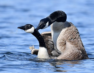 Geese Mating