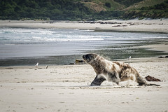 Sealion ready for action (Ian@NZFlickr) Tags: sealion allans beach sand charge sea pacific otago peninsula dunedin nz