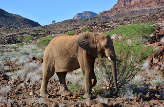 Desert Adapted Elephant - a rare find in Namibia's Kunene region.