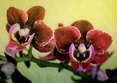 Orchidevils ♂ & ♀ (CosmoClick) Tags: devil devils photoshop cosmoclick cosmoclicky wow