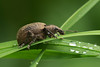 """phyllobius glaucus"" (Scopoli, 1763) (sonomoha) Tags: sonomoha macro tamronphotography tamron180mmmacro insect insecte insetto dew springwatch spring printemps primavera ukwildlife nature natura fauna weevil bug rosée rugiada nikonphotography nikond610 nikonfx plant grass erba herbe plante"