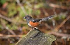 Towhee (careth@2012) Tags: bird towhee nature wildlife beak perched feathers
