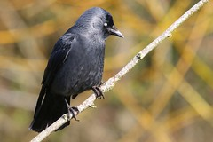 Jackdaw 260317 (4) (Richard Collier - Wildlife and Travel Photography) Tags: wildlife naturalhistory birds british britishbirds jackdaw naturethroughthelens