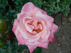 April 20: Pink Rose