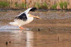 American White Pelican (Bob Riley Jr.) Tags: 2017 americanwhitepelican heroncountypark wildlife birds