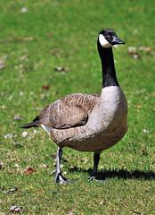 Bernache du Canada-Canada Goose (Branta canadensis) (Ulysse2001) Tags: bernacheducanada canadagoose brantacanadensis