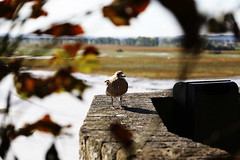 this is a bird on a wall. (dorthrithil) Tags: bird france mont saint michel animal dof depthoffield wall canon eos 6 d ef 24105