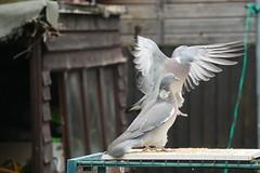 21 April 2017 (33) (AJ Yakstrangler) Tags: yakstrangler pigeon pigeons