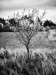 Spring in neighbourhood (Petr Horak) Tags: wood bokeh olympus penf bohemia tree dof blossom blackandwhite blooming czechia nature novýknín středočeskýkraj cze